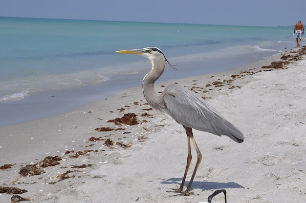 Beautiful great blue heron standing on the beach enjoying the warm weather