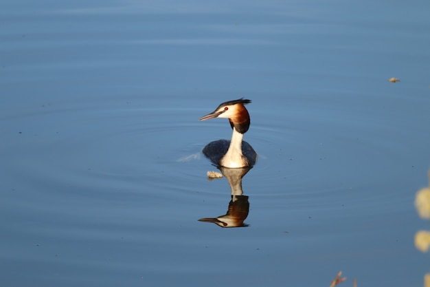 Beautiful great crested grebe floating on water