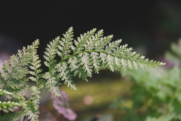A beautiful green adiantum fern background