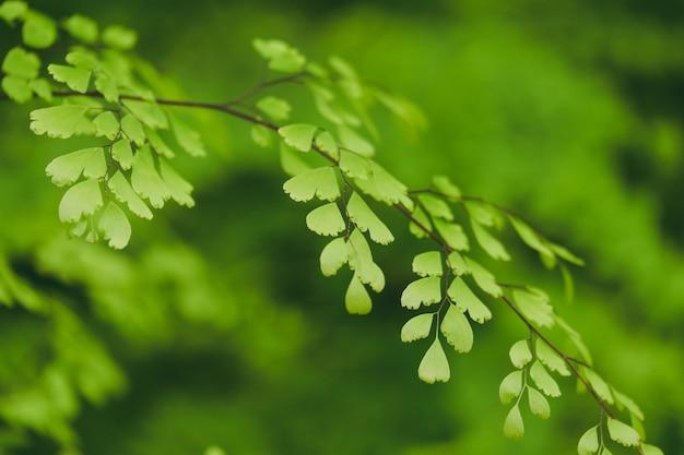 Beautiful green adiantum fern background