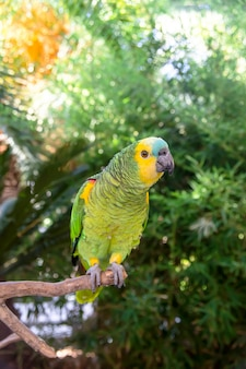 Beautiful green amazon parrot among green branches of palm trees