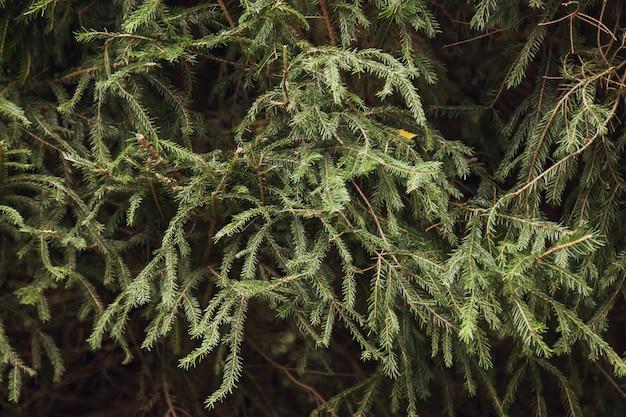 아름다운 녹색 arborvitae 나뭇 가지