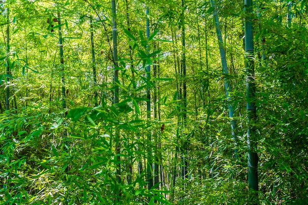 Beautiful green bamboo tree in the forest