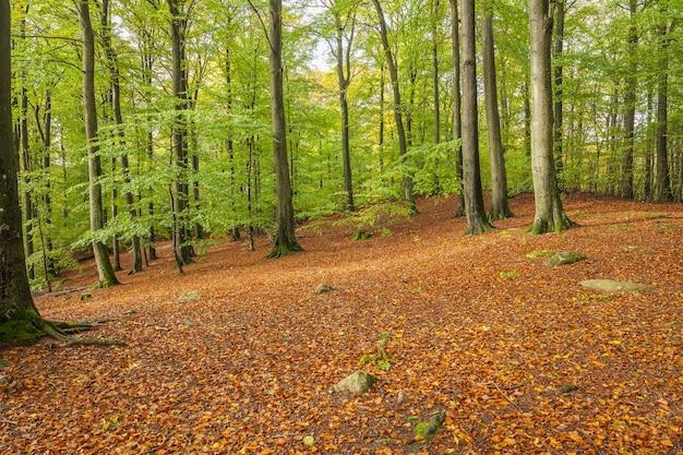 スウェーデン南部の美しい緑のブナの森