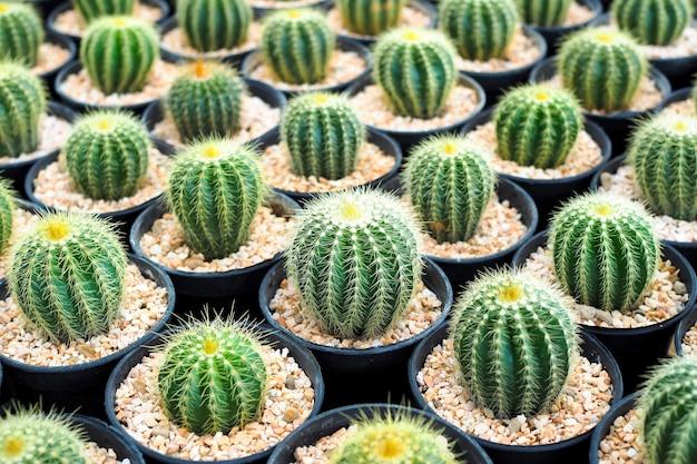 背景の黒い植木鉢の美しい緑のサボテン植物