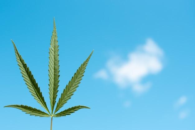 青い空を背景に美しい緑の大麻の葉