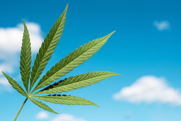 푸른 하늘에 대 한 아름 다운 녹색 대마초 잎
