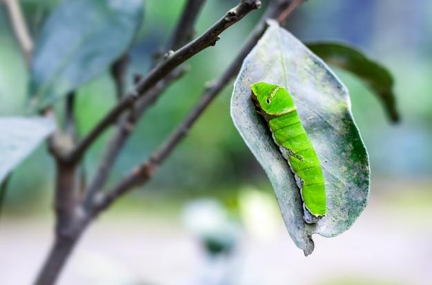 오렌지 잎을 먹는 아름다운 녹색 애벌레를 닫습니다.