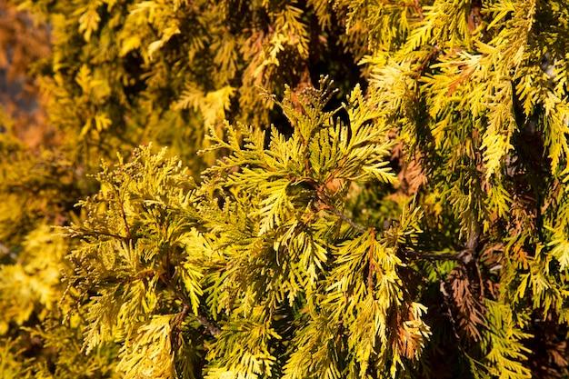 부드러운 햇빛과 함께 thuja 나무의 아름다운 녹색 크리스마스 잎. thuja 나뭇가지, thuja occidentalis는 상록수 침엽수입니다. 황금 투자