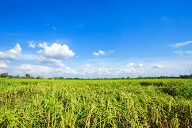 Beautiful green cornfield with fluffy clouds sky background