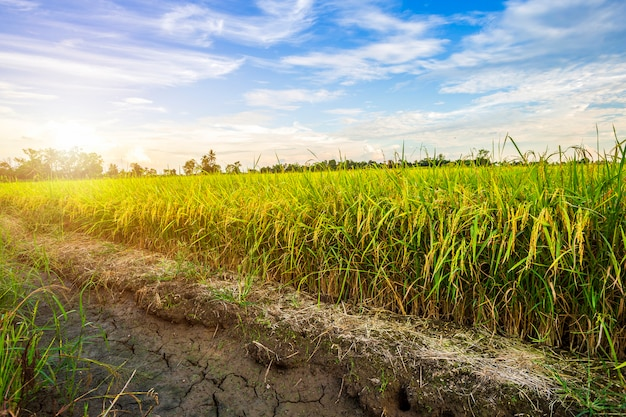 Beautiful green cornfield with sunset sky background
