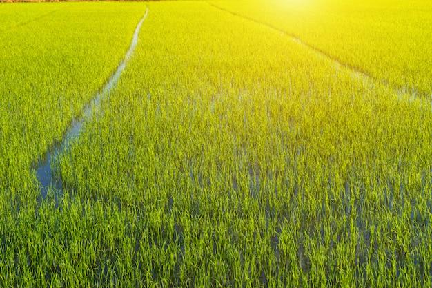 Beautiful green cornfield with sunset sky.