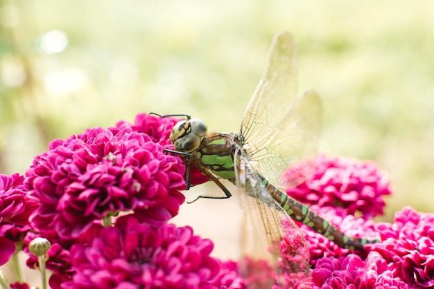 A beautiful green dragonfly sits on the bright pink chrysanthemum flowers in the garden. insect in its natural habitat
