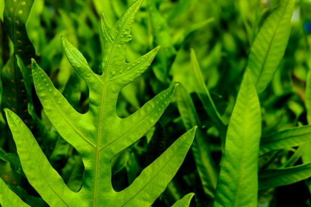 Beautiful green fern leafs in the garden which it very freshness.