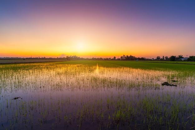 아름다운 녹색 들판 옥수수밭이나 아시아 국가의 옥수수는 일몰 하늘을 배경으로 수확합니다.