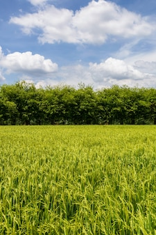 Beautiful green field in countryside with a blue sky as a background.