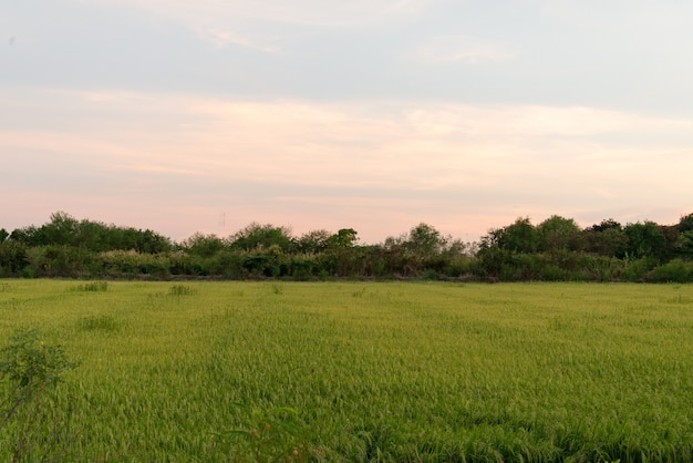 Beautiful green field rice or corn in agriculture harvest with evening sunset sky background.