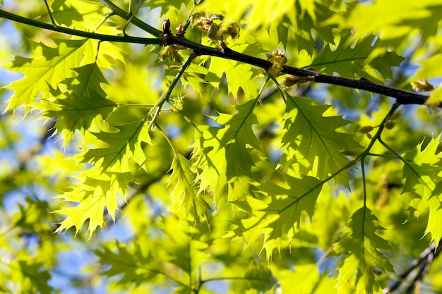 아름다운 녹색 단풍과 오크 꽃, 봄 자연, 세부 사항