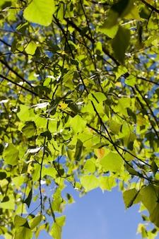 Красивая зеленая листва березы, освещенная солнечным светом, крупным планом на фоне голубого неба