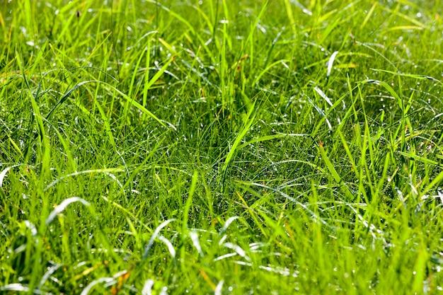 Красивая зеленая трава, растущая на поляне в лесу, фото в весеннее время года в солнечную погоду