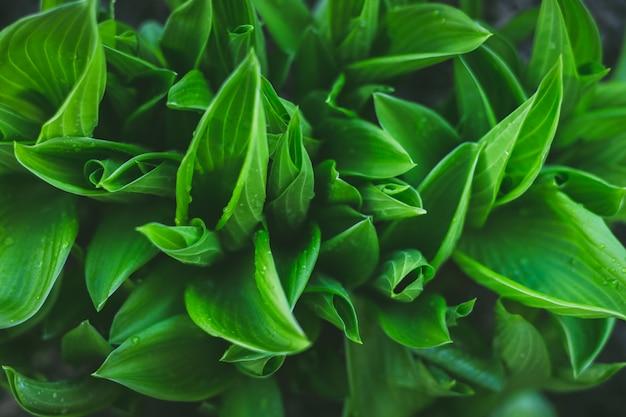 Beautiful green hosta leaves background