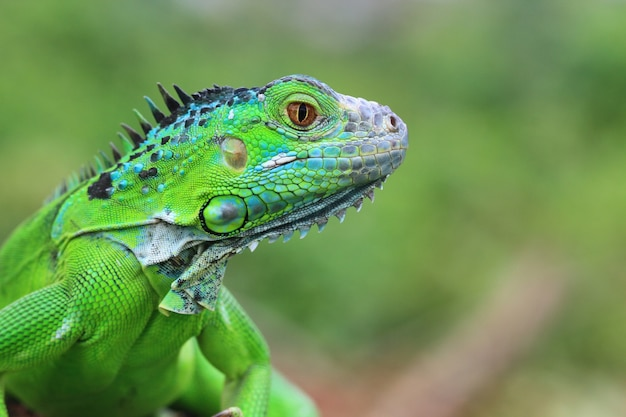 Beautiful green iguana closeup head on wood animal closeup