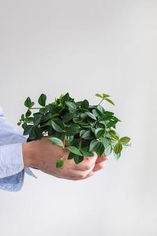 Красивый зеленый комнатный цветок в горшке в мужских руках на фоне белой стены