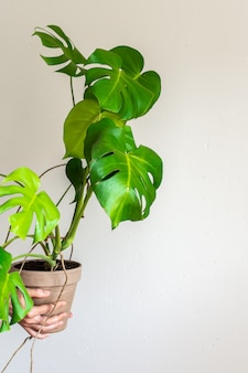 Beautiful green indoor monstera flower in a pot in male hands on a white concrete wall background