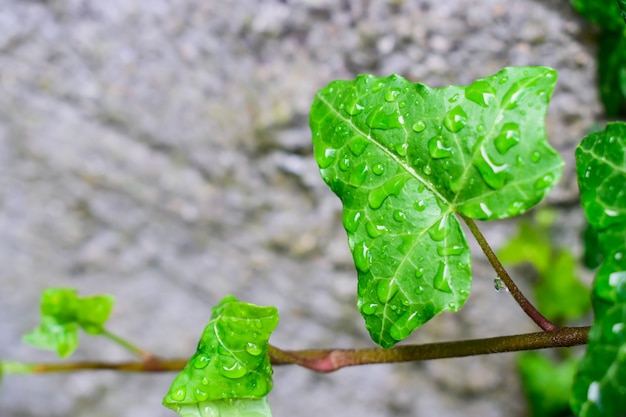 Beautiful green ivy leaves on a stone wall and raindrops.