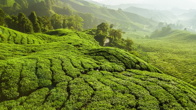 Beautiful green landscape of tea plantation in cameron highlands