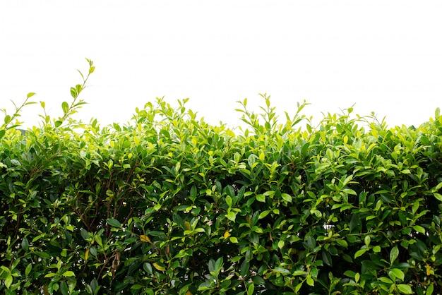 Красивый зеленый забор из листьев на белом