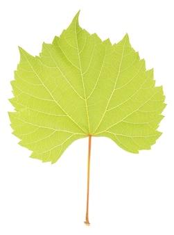 白で隔離の美しい緑の葉