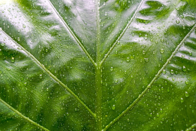 Beautiful green leaf texture with drops of water in raining day.