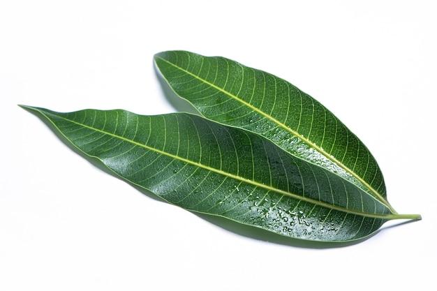 아름다운 녹색 망고 잎
