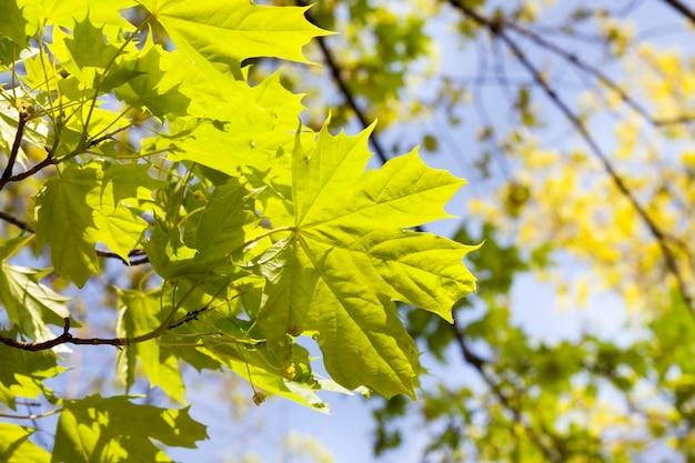 春の美しい緑のカエデの葉