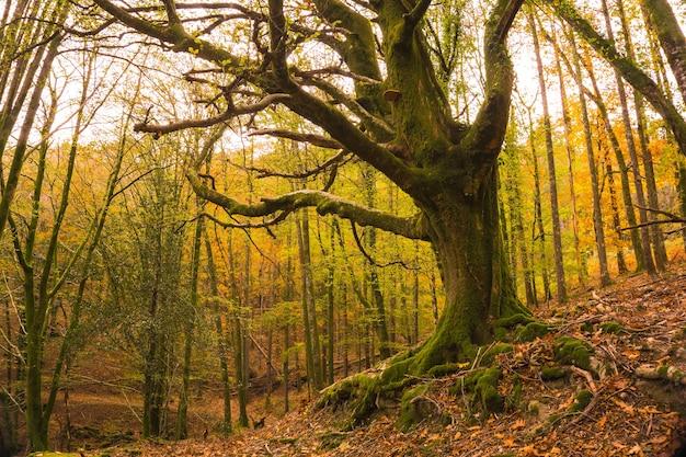 Красивый зеленый дуб в лесу артикуца в сан-себастине осенью, гипускоа, страна басков. испания