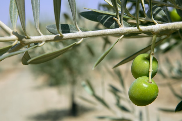 Beautiful green olive field macro over blue sky