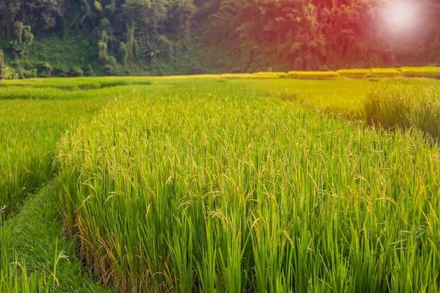 산에서 태국 위치 쌀의 아름다운 녹색 논