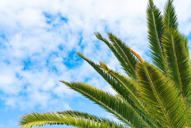 明るい雲の背景の晴れた青空に対して美しい緑のヤシの木。熱帯の葉がヤシの葉を吹きます。