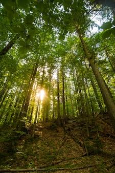 Beautiful green pine trees on carpathian mountains in ukraine