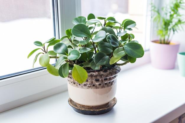 Красивое зеленое растение в керамическом горшке, стоящем на подоконнике