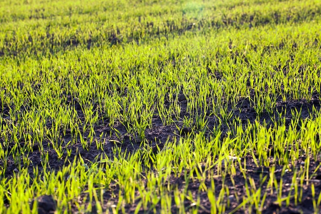Красивое зеленое растение пшеницы или других злаков, трава в начале своего роста и развития