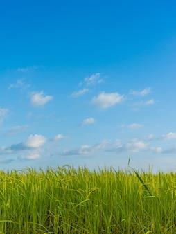 Красивое зеленое рисовое поле с естественным голубым небом.