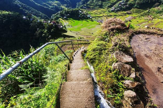 フィリピンの美しい緑の棚田。ルソン島での稲作。