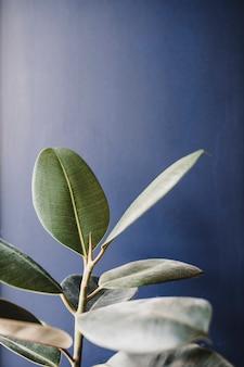 Bello fondo verde della pianta di gomma sulla parete nera