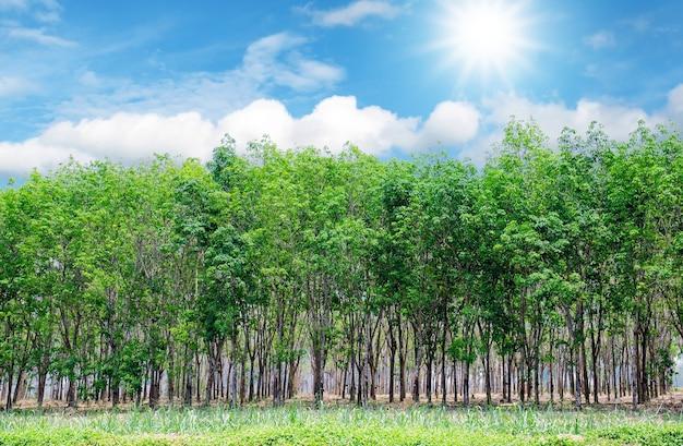 カラフルな青い空と日差しを持つ美しい緑色のゴムのプランテーション。