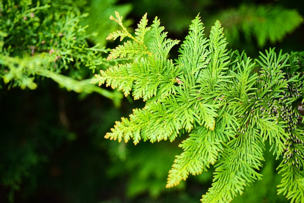 Beautiful green spruce branch in the forest