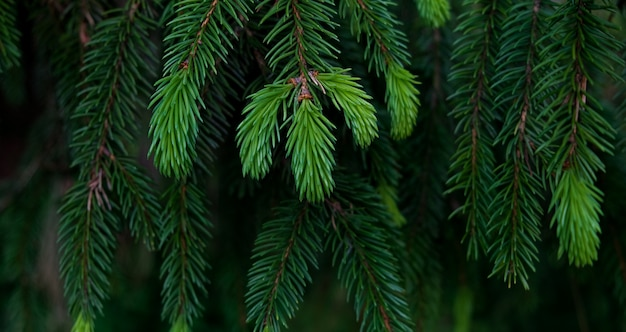 Beautiful green spruce branches, christmas tree. cope space. forest