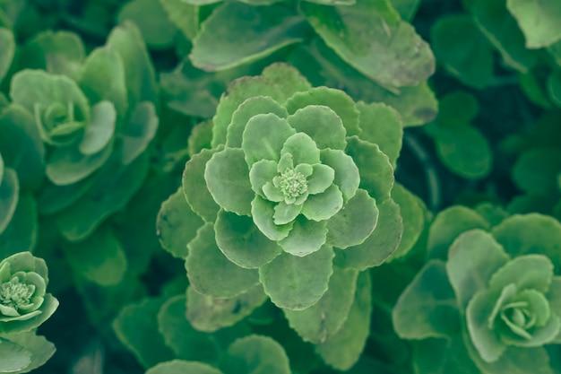 美しい緑のジューシーなエケベリア装飾