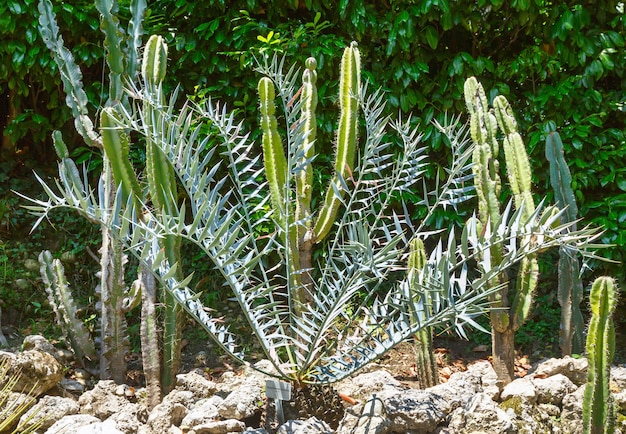 Beautiful  green succulent plant grove